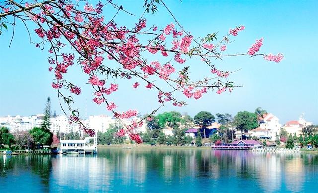 Dọc 2 bên bờ Hồ Xuân Hương, hoa Mai Anh Đào nở rộ.