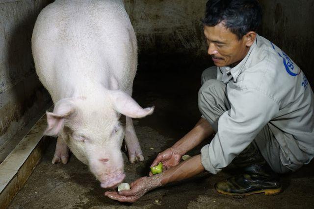 """Gia đình ông Nguyễn Văn Sinh năm nay được các gia đình cai đám tin tưởng nhờ phụ trách chăm sóc cho 4 """"ông lợn"""""""