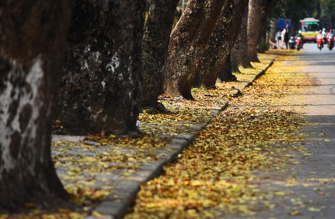 Thảm lá vàng dưới nắng hạ mang theo niềm thương nhớ của biết bao cô cậu học trò của trường Phan Đình Phùng, Chu Văn An... của những mùa thi, mùa chia tay.