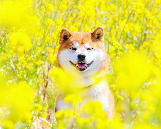 """Khi về sống cùng Masayo năm 2017, chú chó này rất nhút nhát vì từng bị bỏ rơi, sợ hãi khi tiếp xúc với các con chó khác. Sau một khoảng thời gian để làm quen môi trường mới nên hiện tại, """"anh chàng"""" thân thiện với tất cả mọi người, hay trưng ra bộ mặt """"không thể giận nổi""""."""