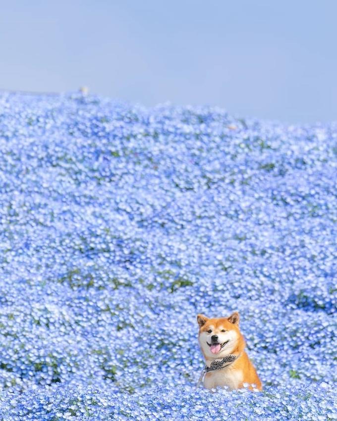 Hachi đặc biệt thích ngắm hoa. Cả hai thường đến các công viên nổi tiếng ở Nhật dã ngoại, chụp ảnh, nhất là công viên Hitachi ở Ibaraki. Đây là một trong những công viên hoa lớn nhất xứ sở mặt trời mọc, nhiều loại hoa nở rộ suốt các mùa. Nổi bật nhất là khoảng 4,5 triệu cây nemophila màu xanh lấp lánh dưới ánh nắng.