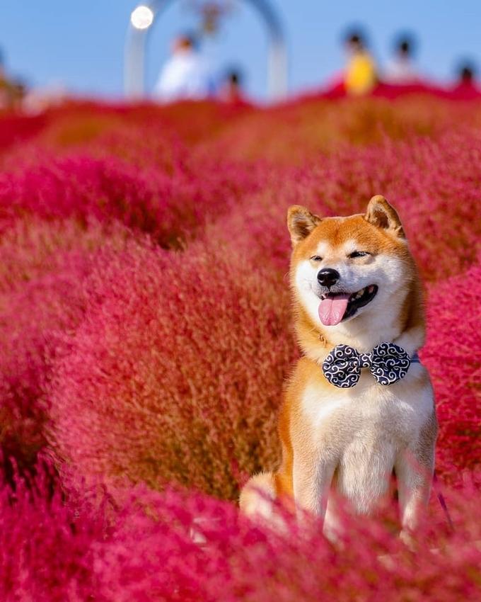 Cả hai hầu như không bỏ lỡ mùa hoa nào ở Hitachi, từ hoa hướng dương, hoa thủy tiên, hoa anh túc và đặc biệt là những bụi kochia đỏ rực vào mùa thu. Công viên Hitachi trải rộng trên 350 ha, trong đó 200 ha mở cửa cho công chúng.
