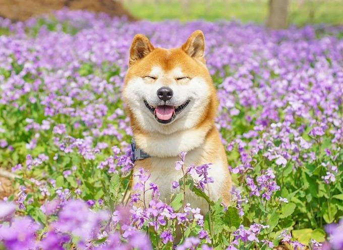 Nhiếp ảnh gia kể, Hachi rất nổi bật giữa rừng hoa và đôi khi dễ thương một cách kỳ cục, lúc nào cũng cười tít mắt, miệng rộng đến tai như đang tận hưởng từng giây phút đẹp đẽ.