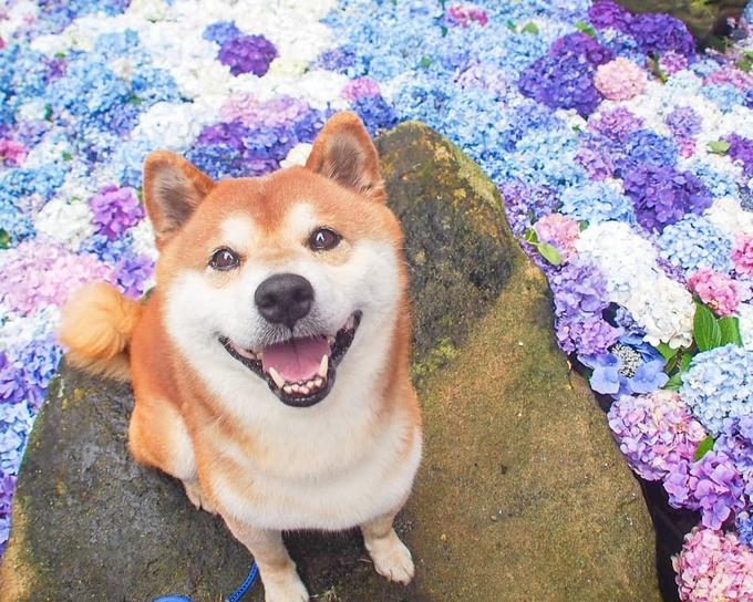 """Hachi không phải là con shiba đầu tiên của Ishizuki. Trước đó, cô sống cùng một con shiba khác tên là Ron, nhưng đã qua đời vào tháng 12/2015. Vì dòng dõi và tính cách của chúng nên shiba được xem là """"bạn đồng hành"""" số một trong các gia đình Nhật Bản. Giống chó này có rất nhiều năng lượng vui vẻ, quấn người, dễ làm thân với người lạ nhưng lại rất trung thành với chủ."""
