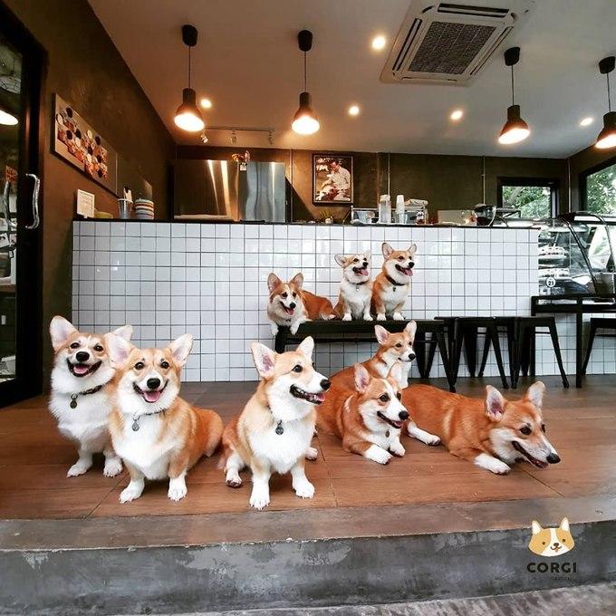Những người yêu chó khi tới Bangkok (Thái Lan) từng xôn xao vì quán cà phê chó husky nổi tiếng một thời, thì nay lại có thêm một địa điểm mới với những chú chó corgi chân ngắn. Quán Corgi in the garden cách thủ đô Bangkok 17 km được mệnh danh là thiên đường cho những tín đồ yêu động vậ