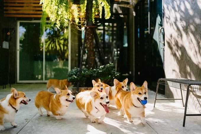 """Thời gian qua, chó corgi đã gây bão cộng đồng yêu chó, ngay cả ở Việt Nam. Một chú chó thuần chủng giá từ 30 triệu đồng trở lên, nên không phải ai cũng có thể sở hữu. Chó corgi có đặc điểm là chân ngắn, mông bự, biểu cảm """"biết cười"""" và rất thân thiện."""