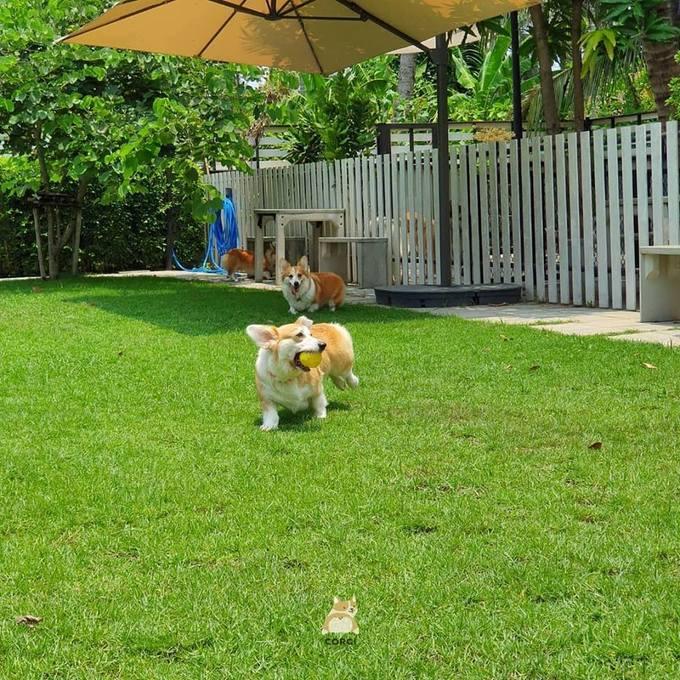 Corgi rất phàm ăn nhưng chủ quán rất cẩn trọng trong chế độ ăn uống dành cho chúng để tránh bị tăng cân. Mỗi ngày, chúng sẽ phải chạy bộ ít nhất 3 lần vòng quanh vườn.