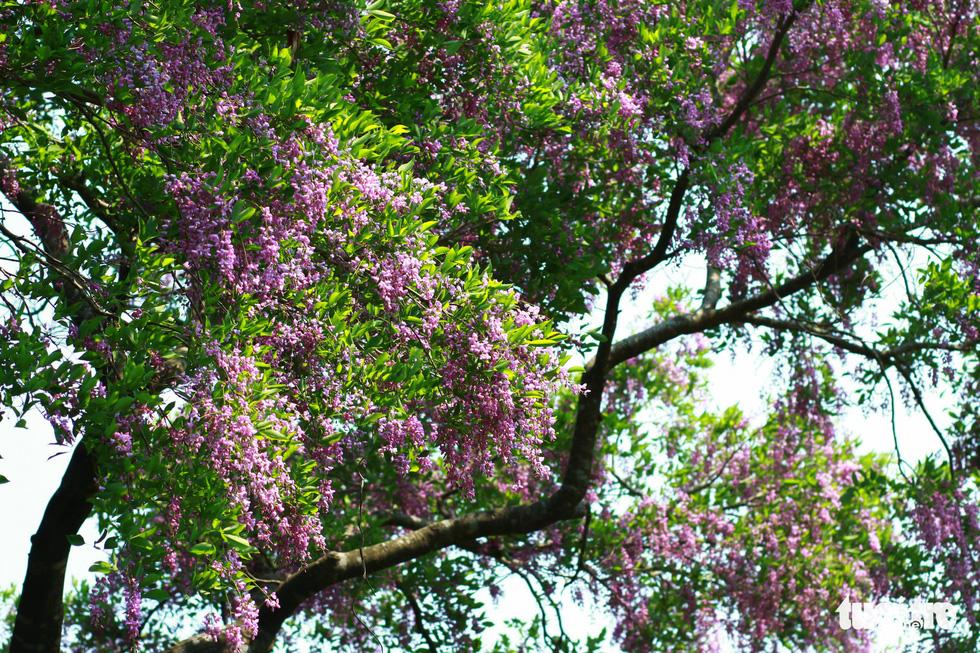 Mùa hoa thàn mát chỉ kéo dài vài tuần trong tháng 5 - Ảnh: TẤN LỰC