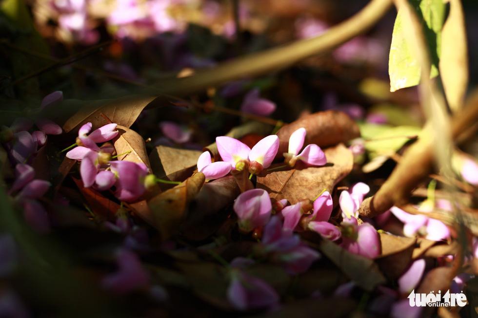 Những cánh hoa li ti rơi rụng xuống thảm đất bên dưới gốc phủ màu tím thẫm - Ảnh: TẤN LỰC