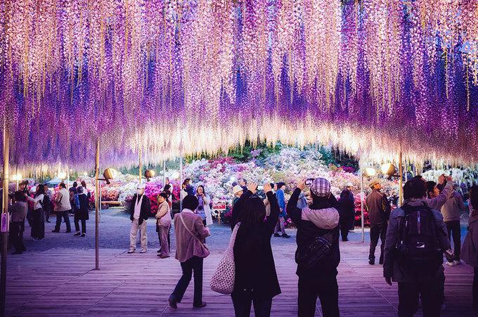 Nhật Bản là xứ sở của muôn loài hoa. Mùa nào cũng có những loài hoa nở rộ làm say đắm du khách. Mùa xuân, bên cạnh anh đào thì hoa tử đằng cũng là một trong số những lý do lôi kéo khách du lịch đến với đất nước mặt trời mọc.