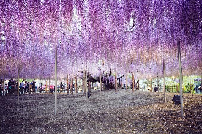 Nhưng không mọc đại trà như hoa anh đào, bạn chỉ có thể ngắm hoa tử đằng ở một số công viên nhất định. Một trong số đó là công viên hoa Ashikaga thuộc tỉnh Tochigi.
