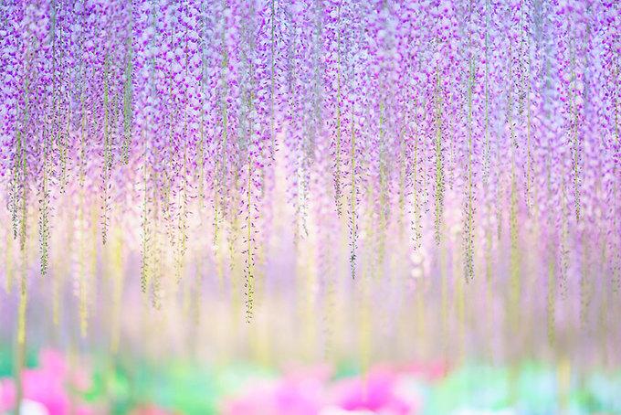 Từng chùm hoa bé li ti, thả từng dây dài cả mét xuống, tạo cảm giác như đang đi trong một căn phòng với tấm rèm khổng lồ phía trên đang rủ xuống.