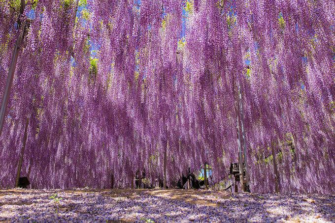 Hoa tử đằng thuộc họ cây nho với nhiều dây leo. Người ta phải dựng một giá đỡ bằng thép chắc chắn để du khách đi bộ dưới tán cây và đắm mình trong sắc hồng và tím bởi những bông hoa treo lơ lửng tuyệt đẹp.