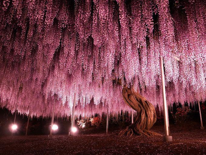 Vào ban đêm, những bóng đèn lớn đặt dưới gốc cây được thắp sáng, càng khiến tán cây trở nên lung linh, huyền ảo.