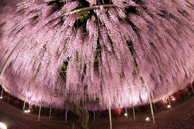 Hàng năm, lễ hội hoa tử đằng được tổ chức từ giữa tháng 4 đến giữa tháng 5. Ngoài ra, công viên Ashikaga còn trồng nhiều loài hoa nở suốt bốn mùa như mẫu đơn, đỗ quyên đỏ, hoa hồng hay tú cầu.