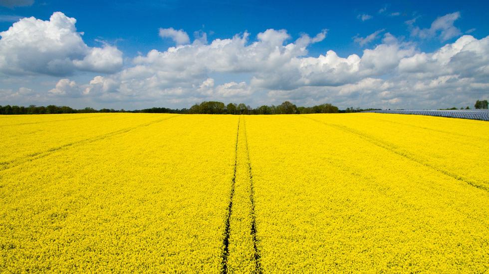 Cánh đồng hoa cải vàng ươm chụp bằng flycam ở vùng Polditz, Đức - Ảnh: Getty Images