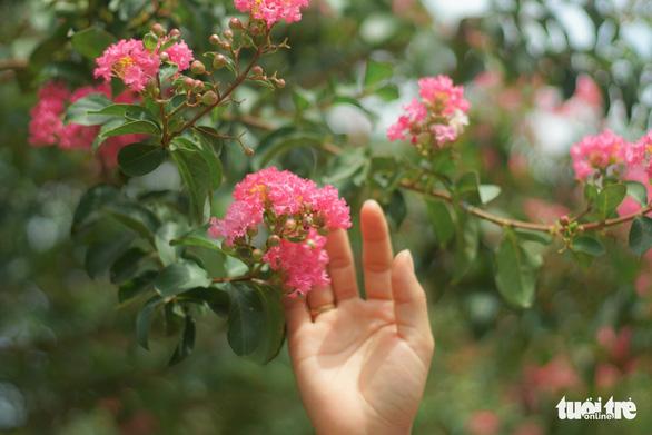 Hoa tường vi hồng tượng trưng cho sự tồn tại mãi mãi trong tình yêu - Ảnh: NGUYỄN HIỀN