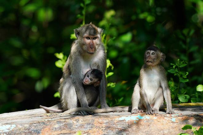 Đàn khỉ hoang tập trung nhiều nhất xung quanh Đầm Sấu _ ẢNH: ĐỘC LẬP