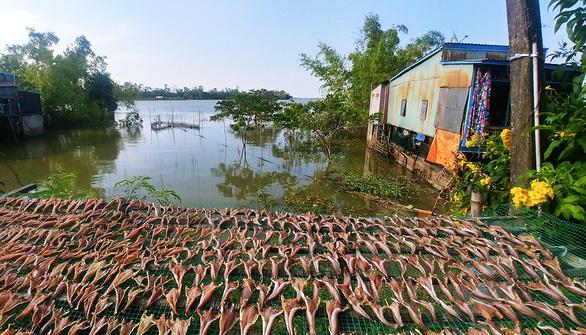 Cá lóc đồng mùa lũ được phơi khô