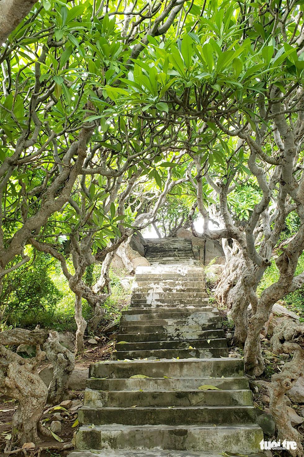 Con đường đá đi lên hải đăng có 2 hàng sứ cổ thụ tuyệt đẹp - Ảnh: NAM TRẦN