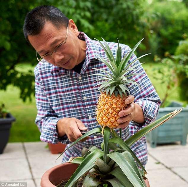 """James Stephens, phát ngôn viên của Lost Gardens cho biết: """"Chỉ có nhân viên mới được nếm thử trái dứa đắt đỏ này. Đó được xem như một lời cảm ơn vì sự chăm chỉ làm việc của họ"""". (Ảnh: The Telegraph)"""