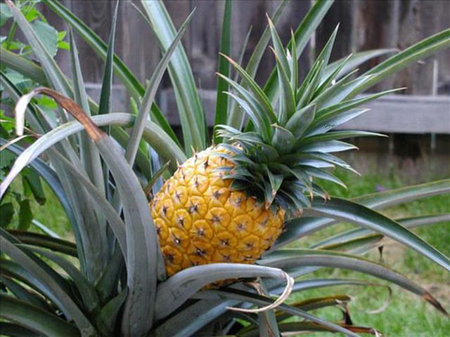 Để có được trái dứa ngon như vậy, nhà vườn phải mất rất nhiều thơi gian trồng và kỳ công chăm sóc. (Ảnh: Mnogolok)