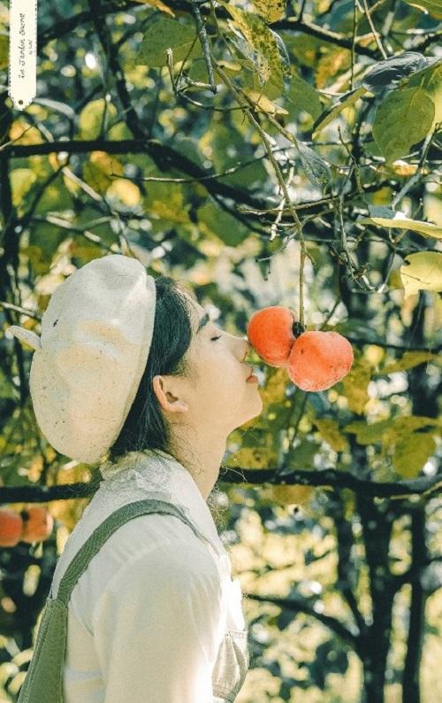 Tầm giữa tháng 9, cây bắt đầu cho nhiều quả chín. Bạn chỉ cần ngửa cổ là có thể chạm ngay vào những quả hồng chín đỏ, thơm lừng.