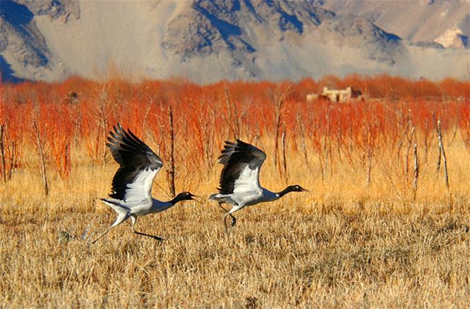 Hồ Vàng nằm ngay cạnh khu bảo tồn nơi có loài sếu cổ đen quý hiếm. Một tour du lịch ngắm chim sẽ được đưa vào hoạt động, để du khách vẫn nhìn được trọn vẹn mà giảm thiểu tác động của con người tới môi trường sống của chúng.
