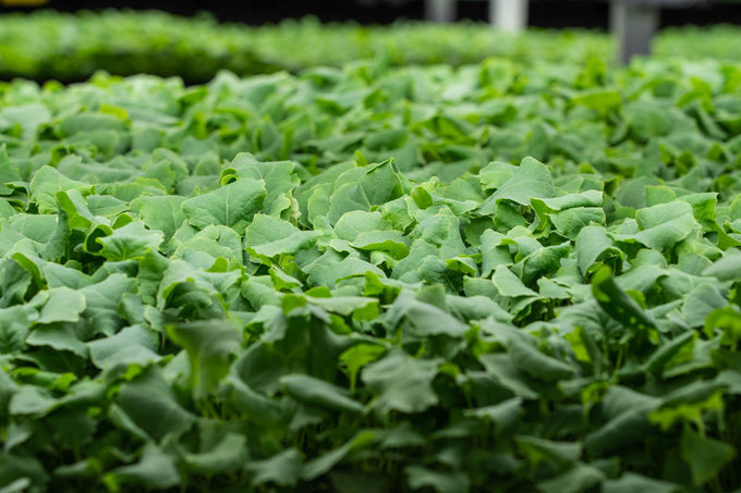 Với công nghệ đặc biệt, nông trại AeroFarm cho biết có thể trồng rau cải phát triển trong khoảng 12-14 ngày, thay vì 30-45 ngày như thông thường.