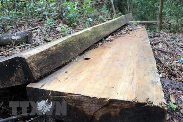 Hiện trường vụ phá rừng cũ, lâm tặc chưa kịp vận chuyển gỗ. (Ảnh: Cao Nguyên/TTXVN)