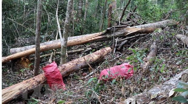 1. 32 gốc cây có đường kính từ 50cm ở rừng Kon Plông bị chặt phá1