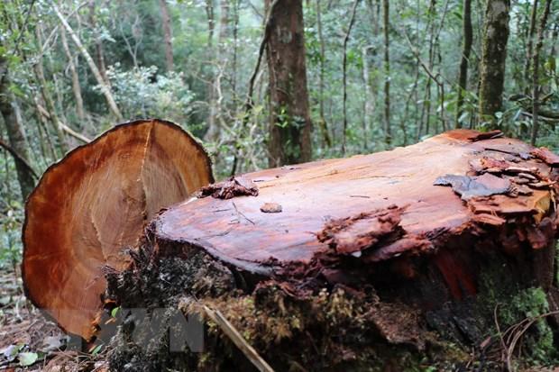 1. 32 gốc cây có đường kính từ 50cm ở rừng Kon Plông bị chặt phá2