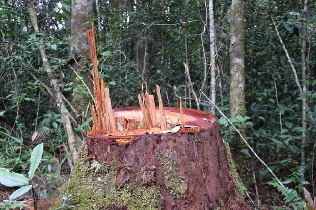 1. 32 gốc cây có đường kính từ 50cm ở rừng Kon Plông bị chặt phá3