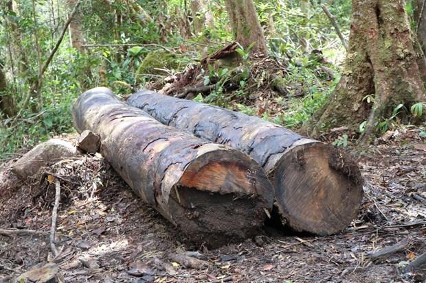 1. 32 gốc cây có đường kính từ 50cm ở rừng Kon Plông bị chặt phá4