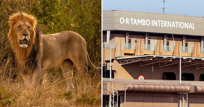 12. Nam Phi Thu 342 kg xương sư tử xuất khẩu trái phép