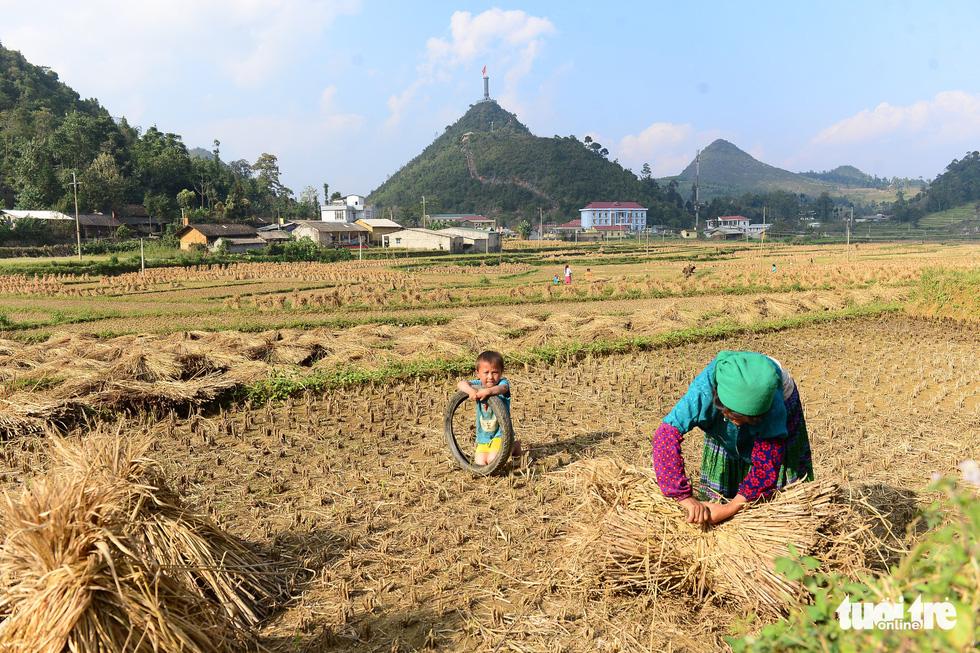 Người dân ở xã Lũng Cú, huyện Đồng Văn lấy rơm sau khi thu hoạch vụ lúa về cho trâu, bò ăn - Ảnh: QUANG ĐỊNH