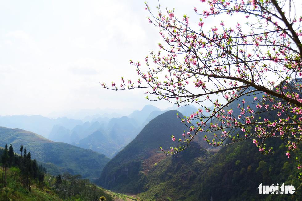 Hoa đào khoe sắc vào mùa xuân - Ảnh: QUANG ĐỊNH