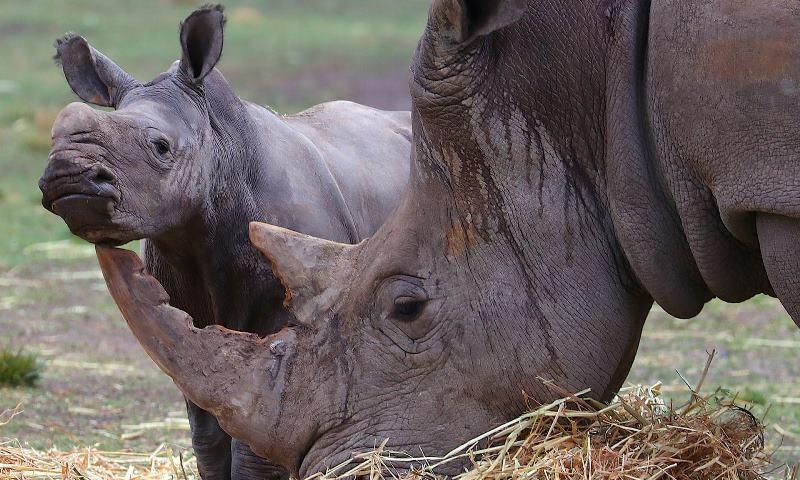 Loài tê giác đang đối mặt nguy cơ tuyệt chủng vì bị săn trộm lấy sừng.