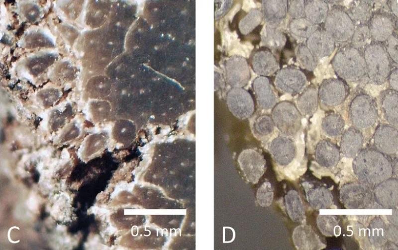 Sừng tê giác thật ở bên trái và sừng nhân tạo ở bên phải dưới kính hiển vi.