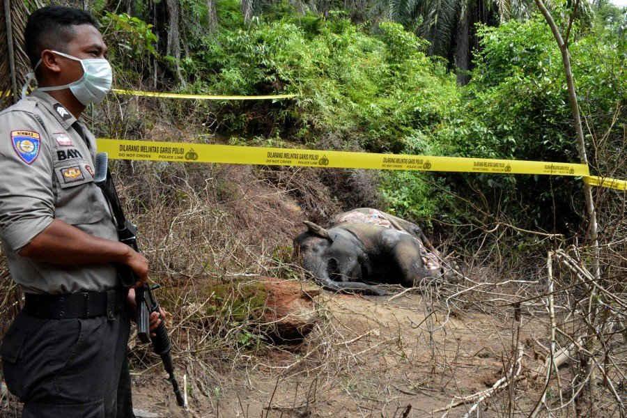 Cá thể voi cái được tìm thấy đã chết vì ngộ độc ở làng Semanah Jaya thuộc Đông Aceh vào ngày 21/11 (Ảnh: AFP)