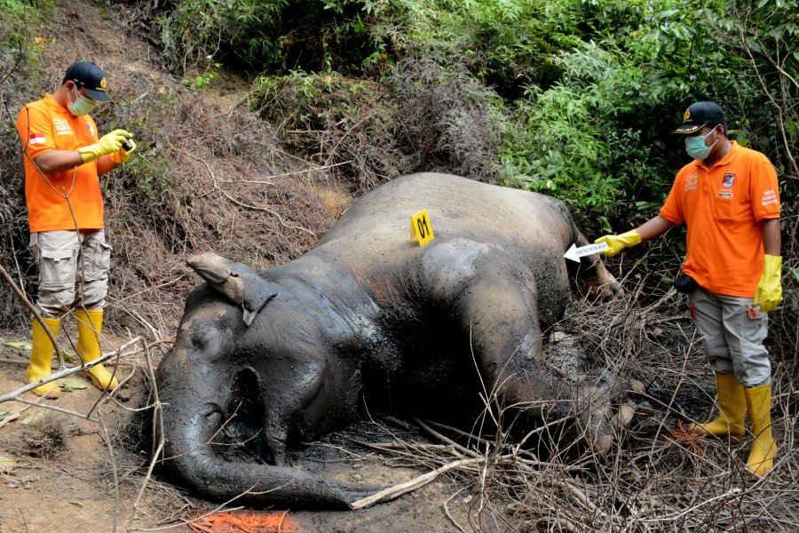 Cảnh sát Indonesia kiểm tra xác voi Sumatra tại đồn điền gỗ công nghiệp PT Atakana Desa Seumanah Jaya thuộc huyện Ranto Peureulak, khu vực Đông Aceh, Indonesia vào ngày 21/11/2019 (Ảnh: Antara Foto / Cek Mad / qua Reuters)