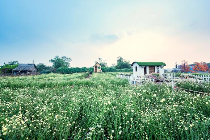 """Đã từ lâu, tháng 11 trở thành khoảng thời gian mà nhiều người Hà Nội nhung nhớ bởi sắc hoa cúc hoạ mi ngập tràn các con phố. Nhiều chủ vườn quanh Hà Nội cũng tranh thủ """"hốt bạc"""" nhờ những cánh đồng cúc hoạ mi vào mùa nở rộ."""