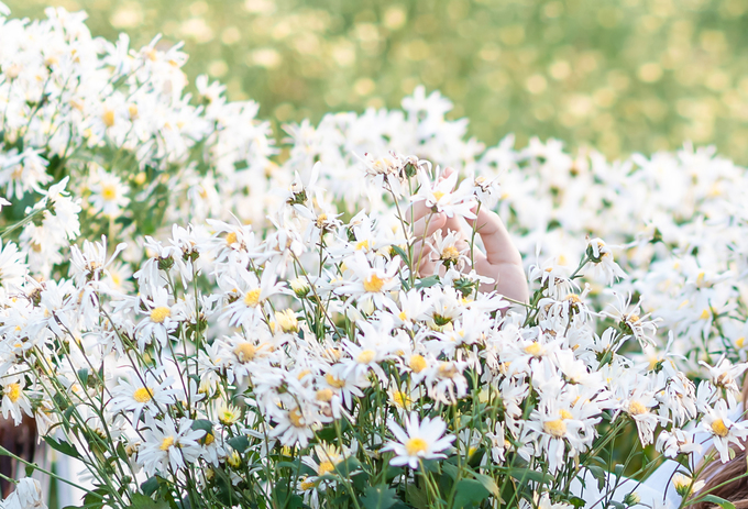 Cúc hoạ mi là loại hoa dễ trồng, thời gian nở khoảng vài tuần. Hoa màu trắng muốt, nhuỵ vàng, mang vẻ đẹp vừa hoang dại, vừa lãng mạn, được nhiều người yêu thích.