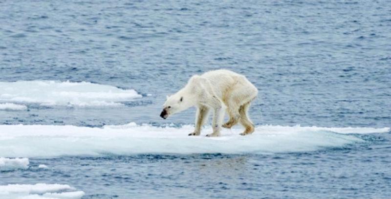 Nhiệt độ tăng khiến tốc độ tan băng nhanh hơn, đe dọa môi trường sống của gấu Bắc Cực.