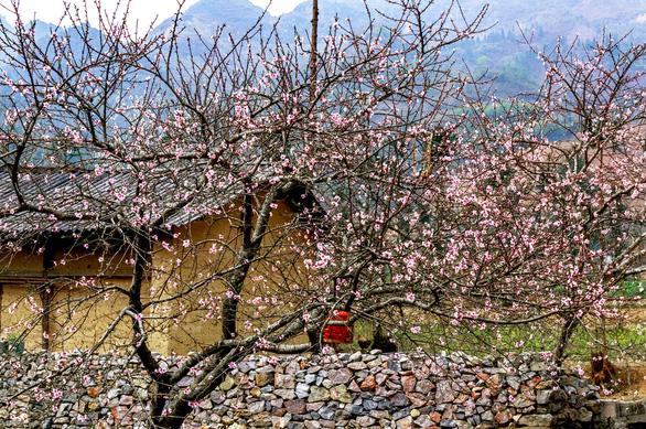 Hoa đào khoe sắc thắm, bừng lên giữa màu xám của đá, của núi rừng Hà Giang - Ảnh: Shutterstock