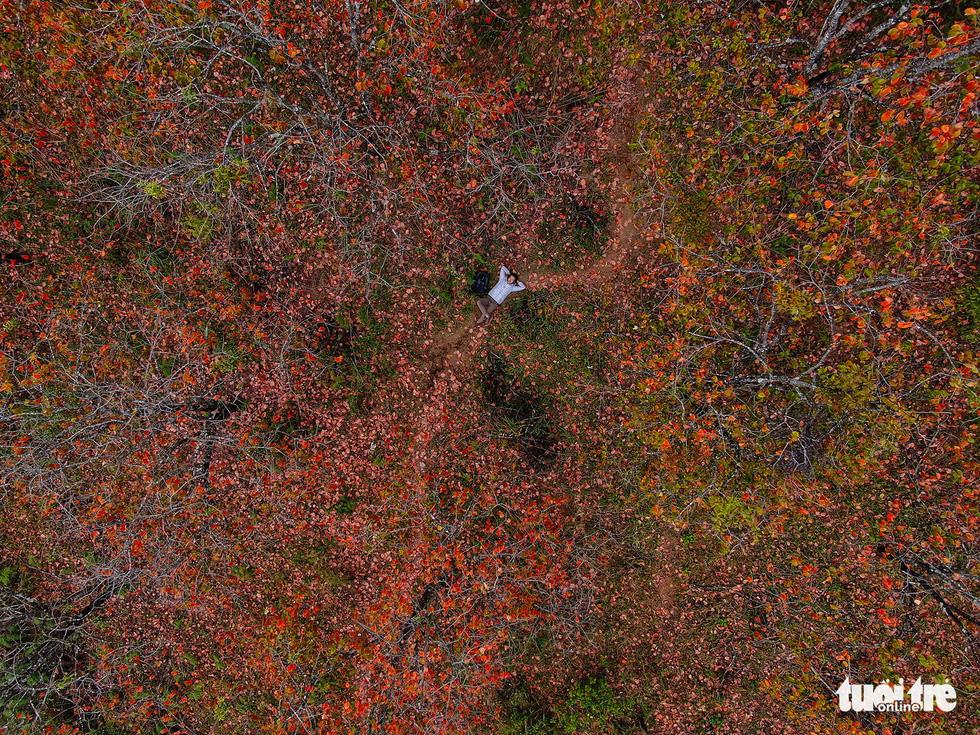 Vườn hồng đổ lá đỏ nhìn từ trên cao thông qua flycam