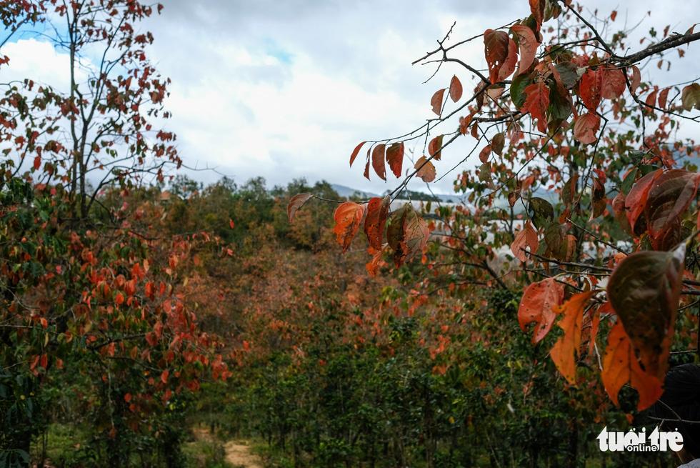 Vườn hồng trồng xen trong cây cà phê tạo nên mảng màu xanh đỏ thú vị
