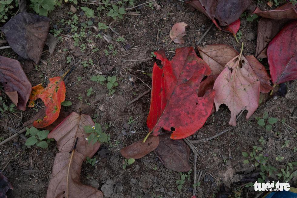 Lá hồng rụng xuống khi chuyển sang đỏ