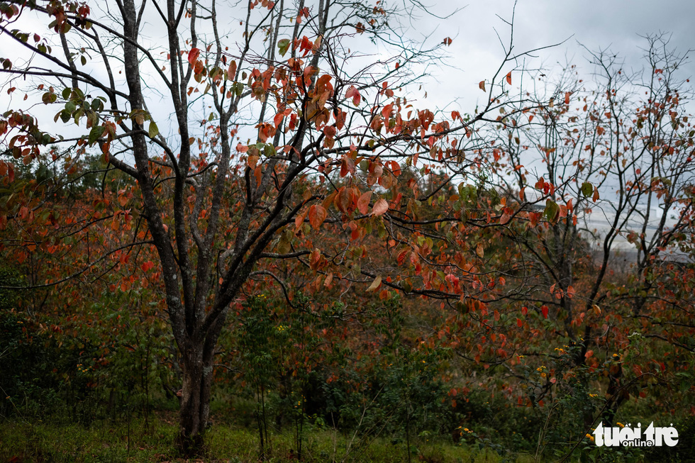 Cây hồng lá đỏ xen giữa là những cây cà phê đến mùa thu hoạch