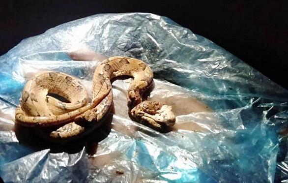 Cẩn thận khi bị các loại rắn độc cắn, không nên cắt lể, đắp thuốc - Ảnh: MINH TRẦN